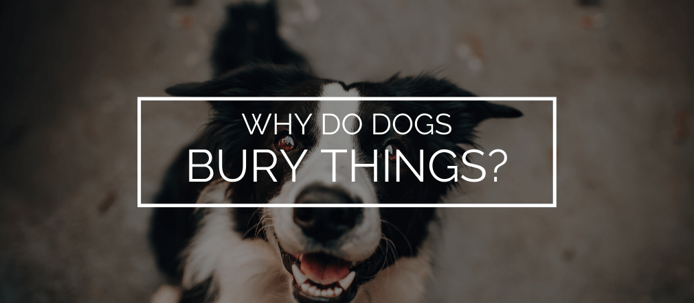 why do dogs bury things