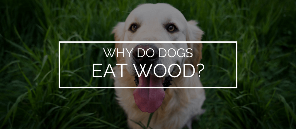 why do dogs eat wood