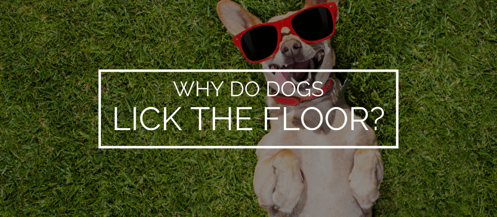 why do dogs lick the floor