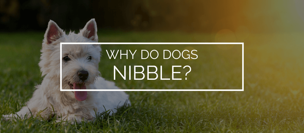 why do dogs nibble
