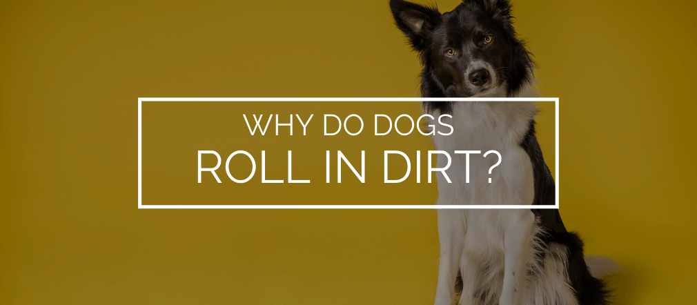 Why do dogs roll in dirt