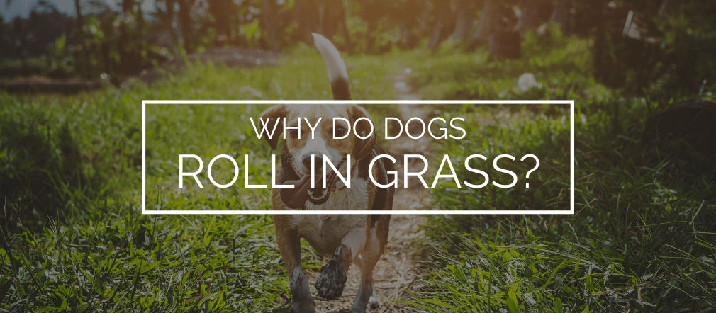 Why do dogs roll in grass
