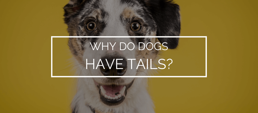 why do dogs have tails