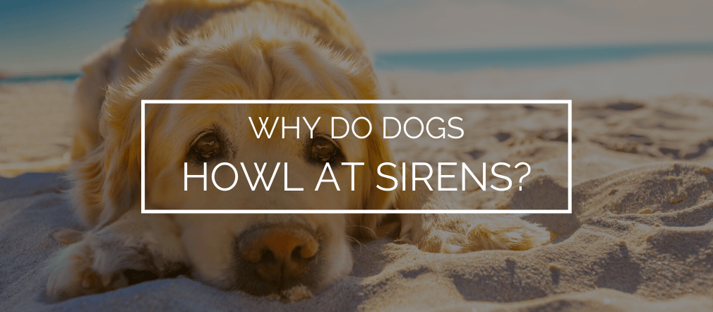 why do dogs howl at sirens