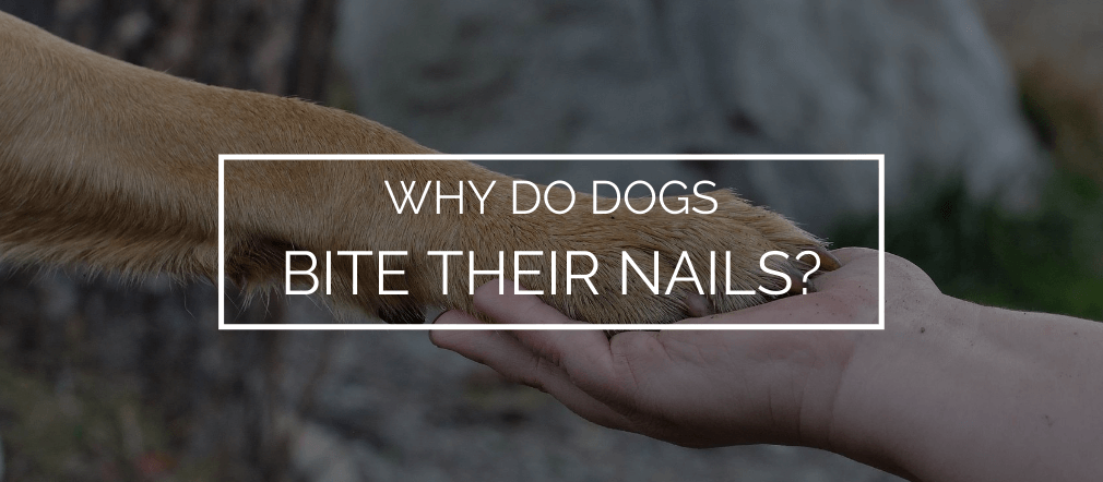 why do dogs bite their nails