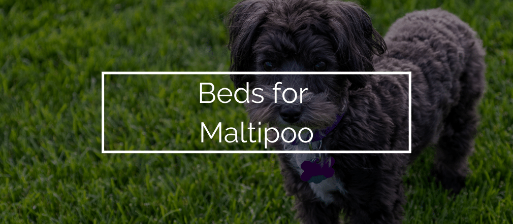 Beds for Maltipoo