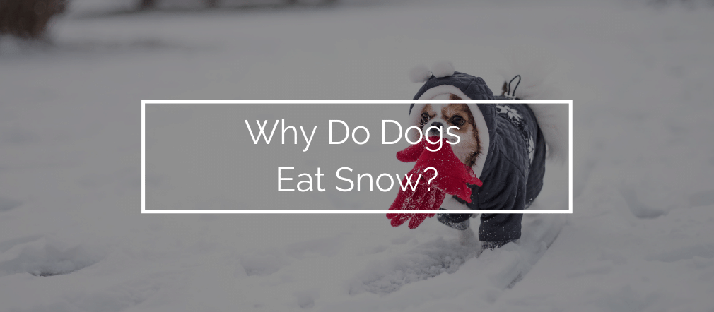 Why Do Dogs Eat Snow?