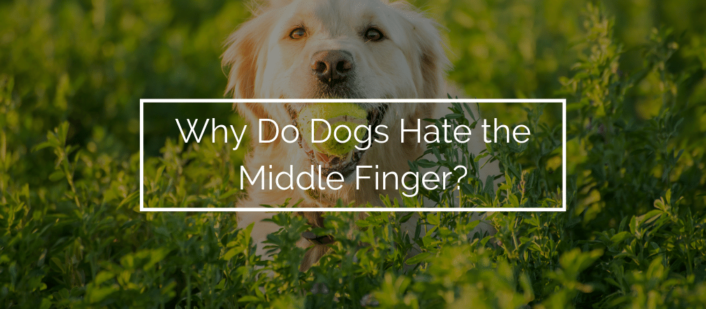 Why Do Dogs Hate the Middle Finger?