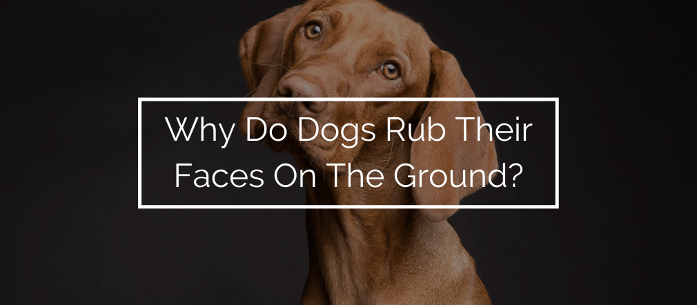 Why Do Dogs Rub Their Faces On The Ground?