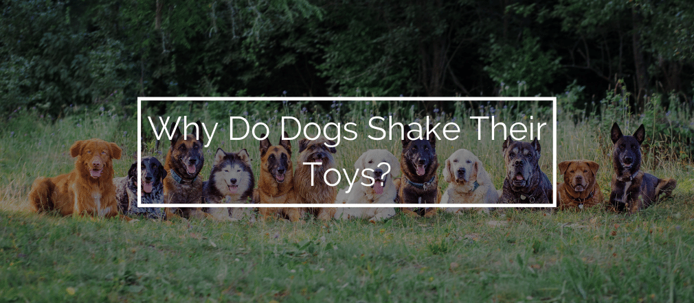 Why Do Dogs Shake Their Toys?