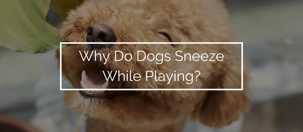Why Do Dogs Sneeze While Playing